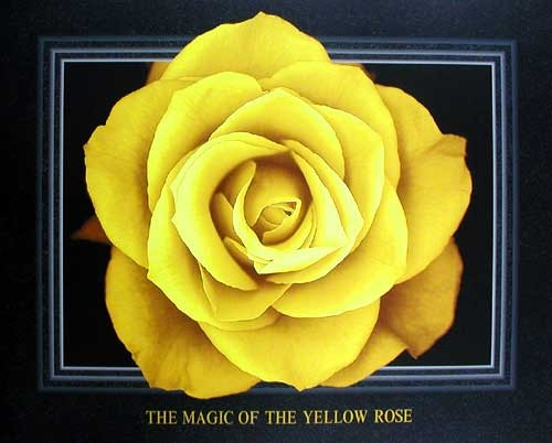 The Magic of the Yellow Rose by Lens & Lens *