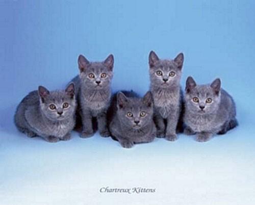 Katzen, Chartreux Kittens