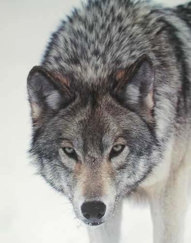 Wolf Gaze by Tom Brakefield