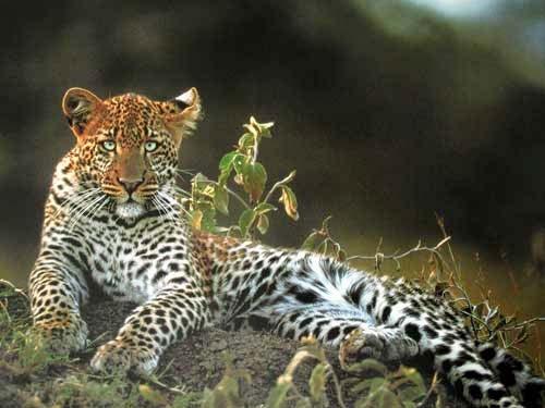 Leopard liegend Poster