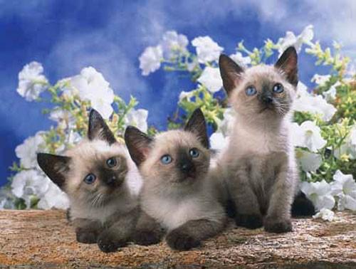 Siamese Kittens, Xavier Chantrenne