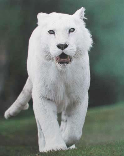 Weißer Tiger Pur
