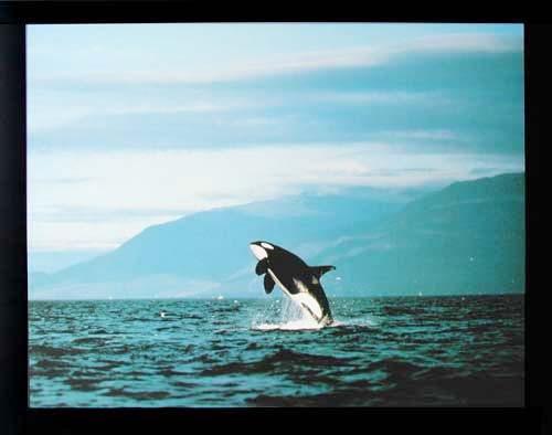Springender Orca Poster 40x50