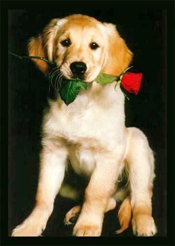 Goldener Retriever und rote Rose Poster