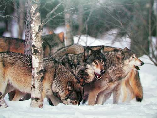 Wolf Pack by Tom Brakefield