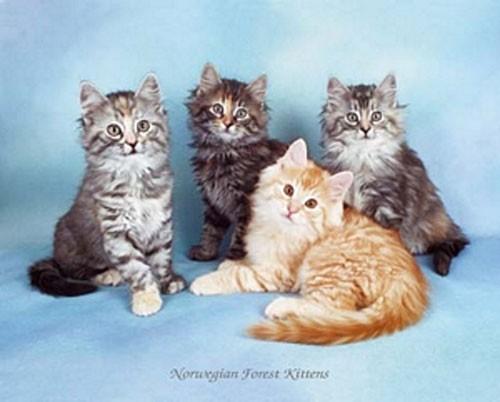 Katzen, Norvegian Forest Kittens
