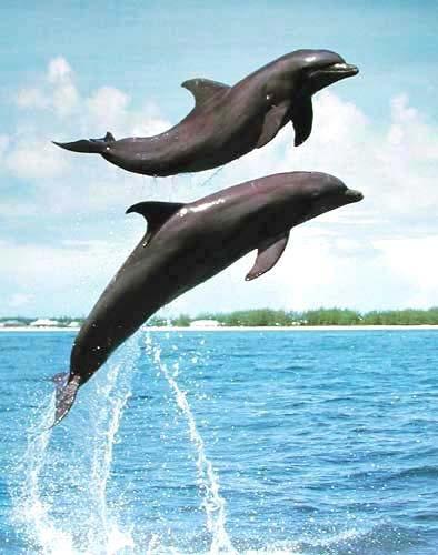 Delfine springen aus dem Wasser - Poster