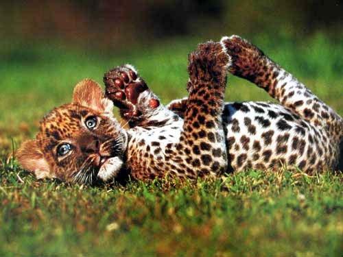 Kleiner Leopard auf einer Wiese, Poster