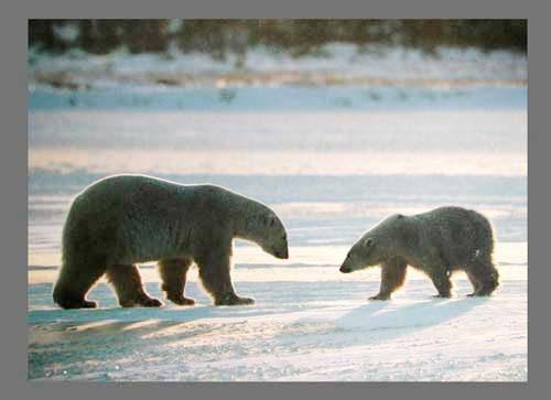 Eisbären bei Dämmerung Poster