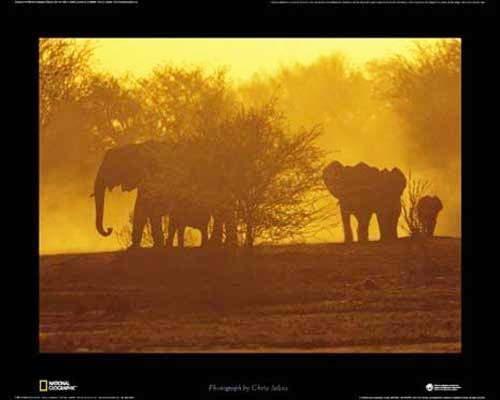 Afrikanische Elefanten Poster