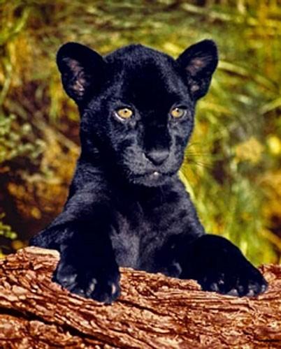 Schwarzer Panther Baby