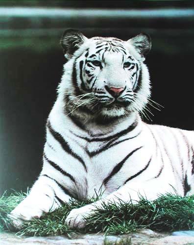 Weißer Tiger liegend Poster