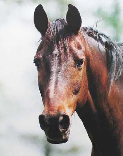 Pferdekopf- Fotografie