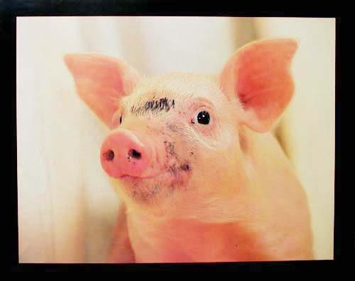 Schwein Portrait, Poster 40x50