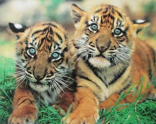 Zwei Tigerbabys Poster