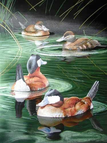 Ruddy Ducks by Trevor Boyer