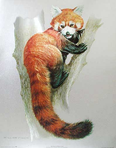 Red Panda by William Finch