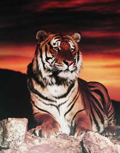 Tiger liegend im Sonnenuntergang Poster 40x50