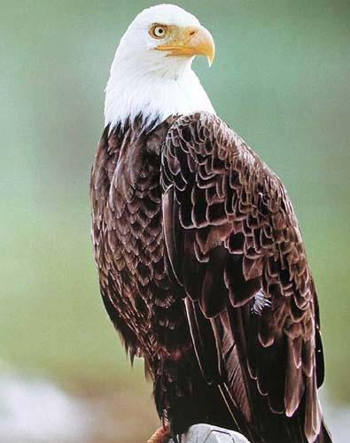 Weißkopfseeadler Portrait Poster