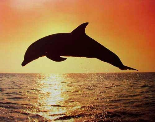 Delfin Silhouette
