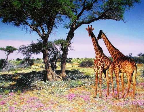 Zwei Giraffen in der Savanne, Poster