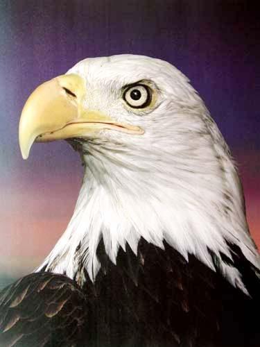 Weißkopfseeadler Nah Poster
