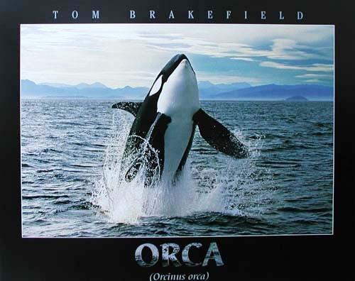 Orca (Orcinus orca) by Tom Brakefield