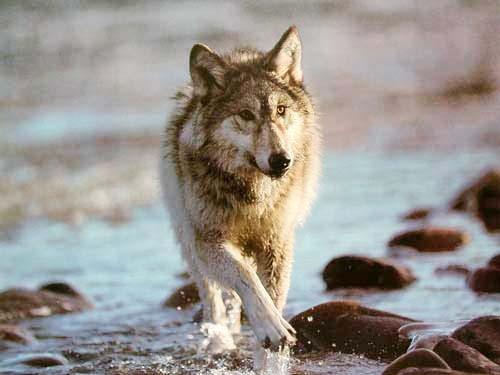 Grauer Wolf im Wasser Poster