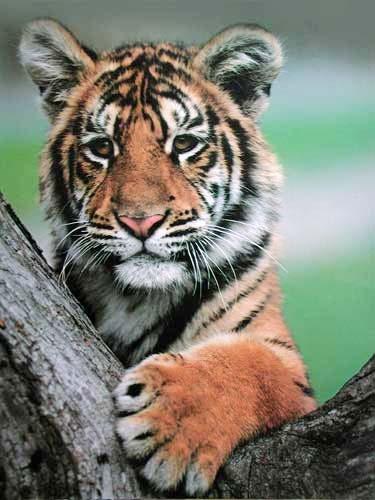 Kleiner Tiger auf Ast