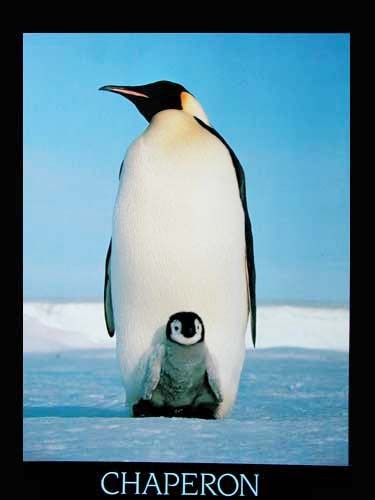 "Pinguine ""Chaperon"""