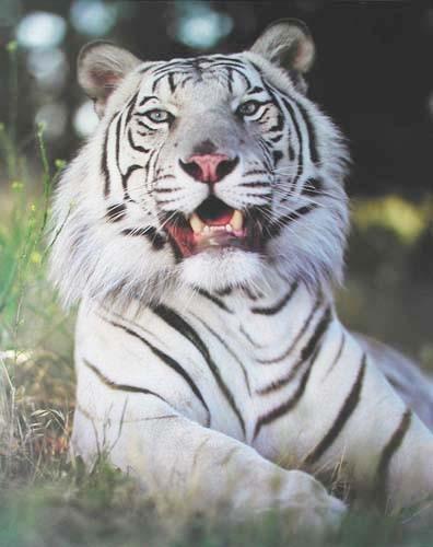 Poster 40x50 cm: weißer Tiger liegend