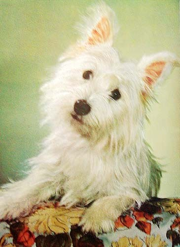 "West Highland Terrier ""Dreamy"""