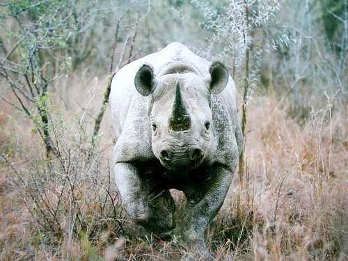 Nashorn, Black Rhinoceros (laminiert)