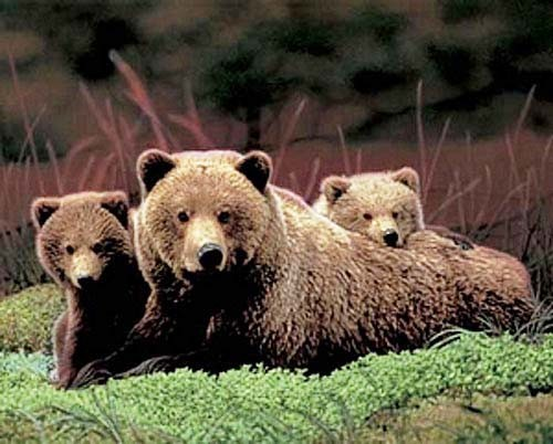 Braunbärenfamilie Poster
