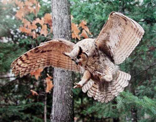 Great Horned Owl by Dr. Scott Nielsen