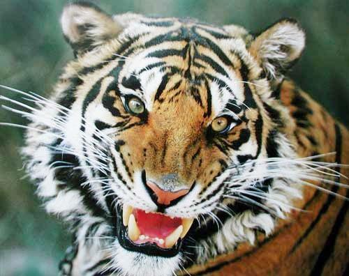 Tiger-Nahaufnahme, Poster