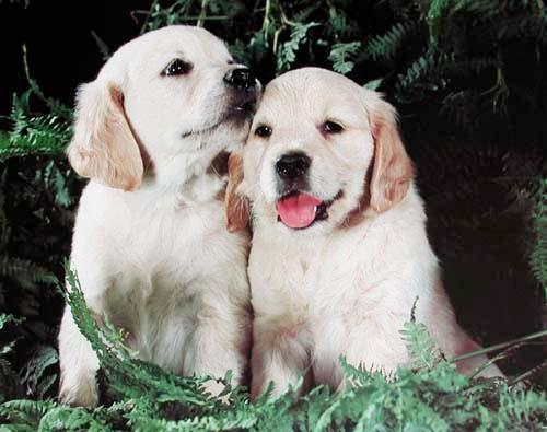 Labradorwelpen Poster