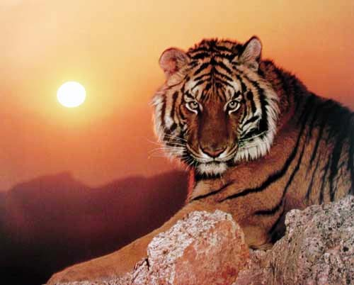 Tiger Sunset by Ron Kimball