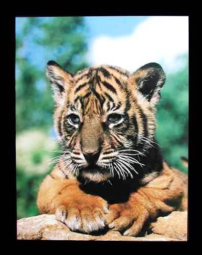 Tigerbaby am Baumstamm Poster