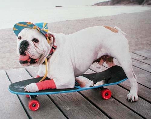 Bulldogge auf Skateboard, Poster