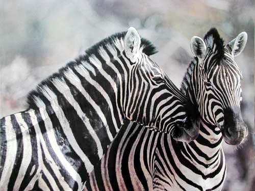Zebras (laminiert)