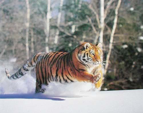 Sibirischer Tiger Poster