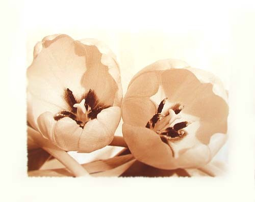 Zwei Tulpen in Sepia-Farbe Poster