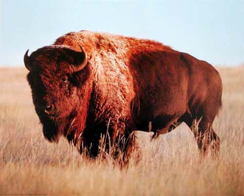 Bison by Charles G. Summers