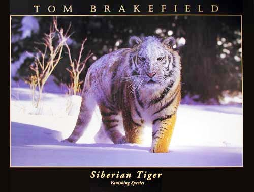 Sibirischer Tiger von Tom Brakefield Poster 40x50 cm