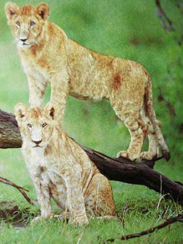 Kleine Löwen*