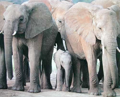 Elefantenherde Poster 40x50 cm