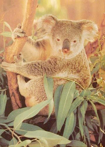 Koala *
