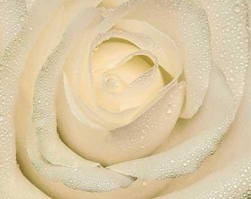 Rose in Creme