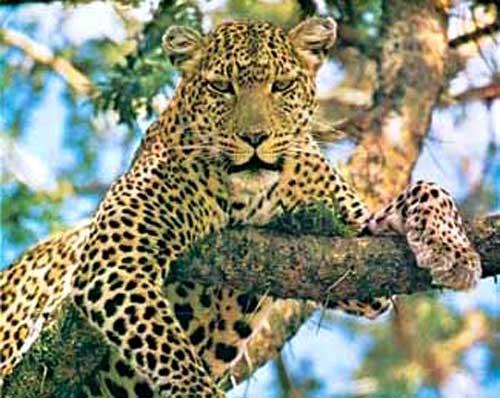 Leopard auf Baum Alu Druck, Bild 21x26